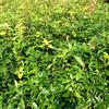 出售二年生楠木苗(高度在60公分到1米5),二年生刨花楠苗