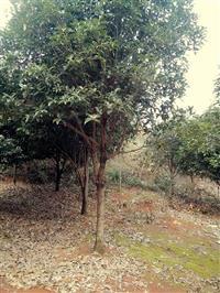 供应香樟树,栾树,马褂木,红果冬青,广玉兰,朴树