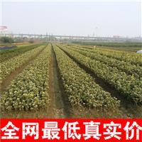 低价出售金边黄杨、瓜子黄杨、大叶黄杨、银边黄杨、雀舌黄杨