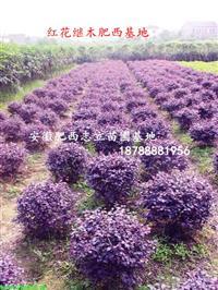 安徽红花继木球50-80-80-150cm大量出售