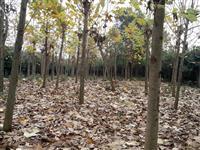 供应广玉兰,香樟树,朴树,栾树,红果冬青