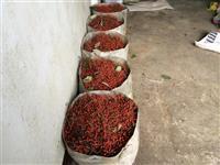 供应山桐子种子,山桐子种子价格,山桐子种子供应商
