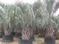 布迪椰子价格 福建布迪椰子 布迪椰子价格 布迪椰子供应