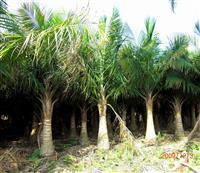 国王椰子价格 福建国王椰子 国王椰子批发 国王椰子供应