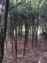 绿化芒果树 芒果树批发  福建芒果树 芒果种苗