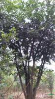 丛生黄连木