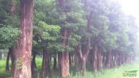 安徽重阳木