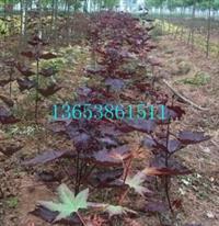郑州红国王挪威槭规格|天津 红国王挪威槭种植技术