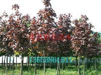 許昌紅國王挪威槭*新價格|河北紅國王挪威槭苗木