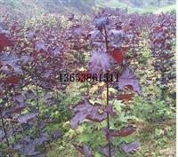 周口红国王挪威槭图片|低价红国王挪威槭批发价