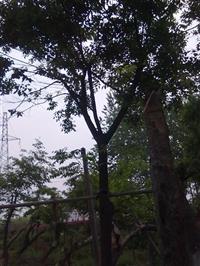 低價出售樸樹