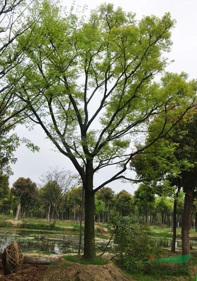 首页 绿化苗木频道 苗木供应 绿化苗木 乔木 安徽朴树价格,米径15到30
