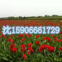 杭州萧山大量供应水生美人蕉600万芽,自产自销