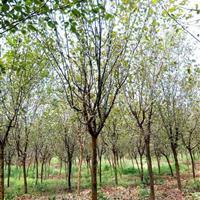 肥西大型木瓜供应商规格5-6-7-8-9-10实力供应商
