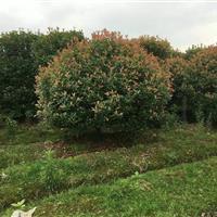 安徽合肥精品红叶石楠球冠100-150-200-250-处理