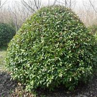 肥西大型红叶石楠球基地、规格80-120-150-200