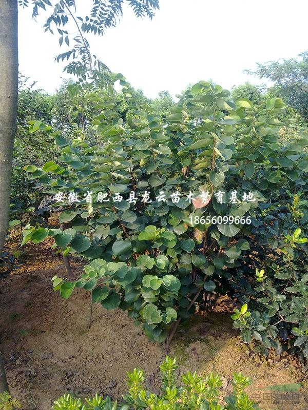 安徽紫荆 樱花 马褂木 重阳木 合欢 喜树 供货商