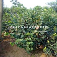 安徽紫荊 櫻花 馬褂木 重陽木 合歡 喜樹 供貨商