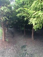 大量出售8一15公分北美落羽杉和墨西哥落羽杉