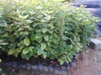 种苗供应20-100公分高红花荷苗