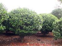 湖南苗圃供应湖南绿化苗木、湖南茶花小苗、茶花价格、茶花球