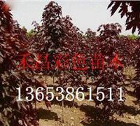 焦作红国王挪威槭种植|湖北红国王挪威槭嫁接