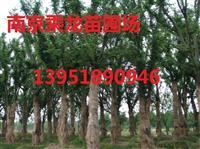 9公分榉树