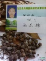 泡花楠种子行情报价\泡花楠种子图片展示
