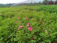 四季玫瑰批发供应、四季玫瑰*新价格、藤本月季、四季玫瑰生产基