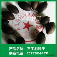 三尖杉种子行情报价\三尖杉种子图片展示