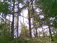 松树,杨树,柞树
