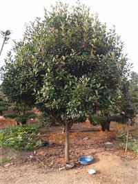 精品树形高杆红叶石楠批量供应了