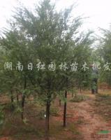 湖南红豆杉、南方红豆杉、曼地亚红豆杉