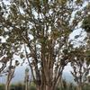 移栽丛生桂花树