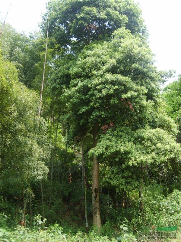 楠木生长速度中等,50~60年达生长旺盛期