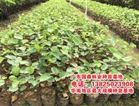 檀香紫檀―檀香紫檀种苗价格