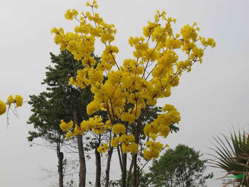 供应;黄花风铃木