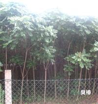 臭椿胸径8-10公分价格·10-12公分臭椿价格供应·山西地