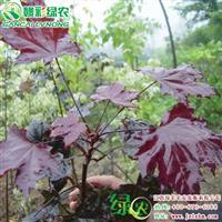 红国王挪威槭 行道树品种 优良挪威槭品种 挪威槭小苗价格