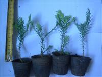 北美红杉苗红木杉苗长叶组培小苗