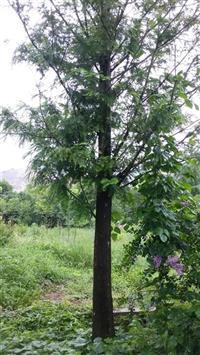 水杉|5-10公分水杉