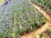 青州上盆蛇莓|青州白晶菊|青州上盆紫菀|青州蓍草|青州石竹花