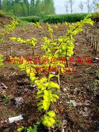 四川金叶水杉育苗技术|揭阳金叶水杉绿化