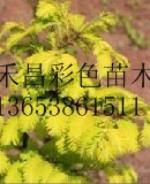 优质金叶水杉直销价格|河源金叶水杉厂家