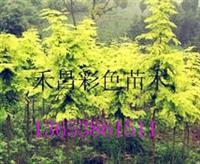重庆金叶水杉种植|平度金叶水杉购买