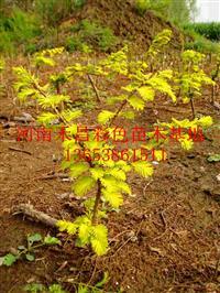 销售金叶水杉生产厂家|武夷山金叶水杉景观