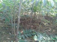 安徽香椿1年苗高度1.2米