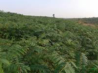 安徽香椿1年苗50-1.5米