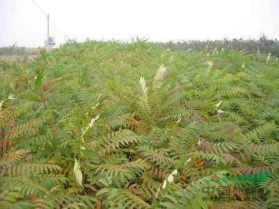 城区乔木种植技术