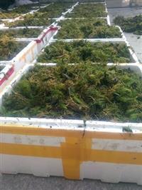 浙江大量供应沉水植物眼子菜,金鱼藻,狐尾藻,聚草,苦草等等。